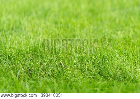 Green Grass Lawn In The Garden, Green Flooring Making Concept, Football Pitch Training Or Golf Lawn.