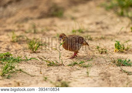 Grey Francolin Or Grey Partridge Or Francolinus Pondicerianus Eating Grass Plant On A Jungle Track A