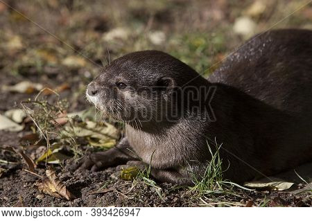 Short Clawed Otter Aonyx Cinerea, Adult Short Clawed Otter Aonyx Cinerea, Adult