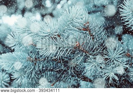 Christmas winter snowy background. Blue Christmas winter pine tree branches under falling snow, closeup of winter forest nature with free space for Christmas text