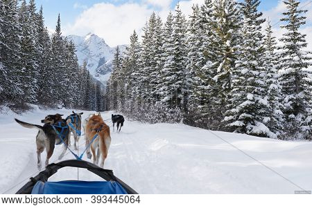 In Winter, The Dog Pulls His Sledge Over The Ice And Snow And Goes Into The Woods