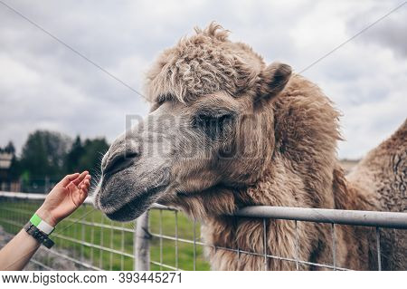 Close Up Of Funny Bactrian Camel In Karelia Zoo With Visitors Hand. Hairy Camel In A Pen With Long L