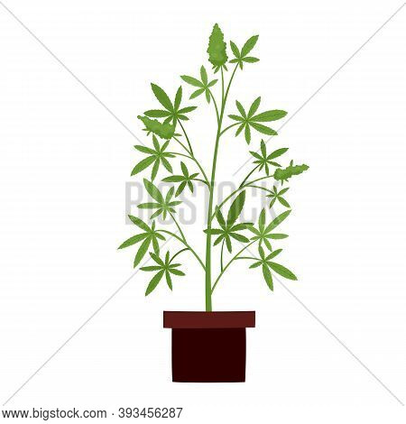 Vector Illustration Of Cannabis Plant In Pot Isolated On White.