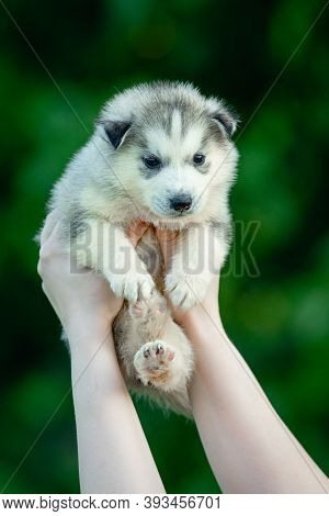 Woman Holds Black And White Colored Siberian Husky Puppy In Her Hands. Young Dog Isolated With Green