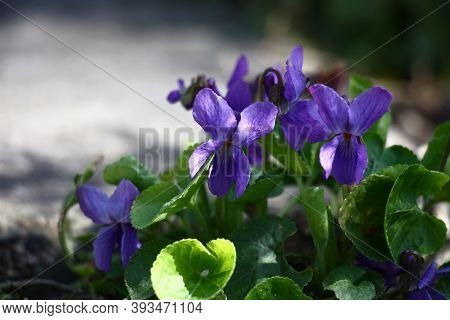 Violet Flowers And Green Leaves Of A Garden Viola At Day Solar Lighting.
