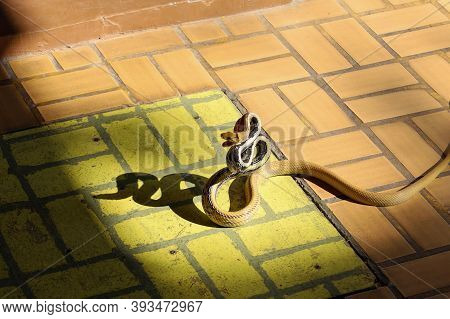 Close Up Rat Snake Attack On Floor In Thailand