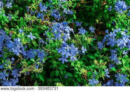 Green And Blue Delicate Floral Texture Of Cape Leadwort Flowers. Natural Background With Flowering O