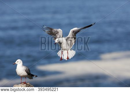 Hartlaub's Gull Or King Gull Larus Hartlaubii, Adult In Flight, Hermanus In South Africa