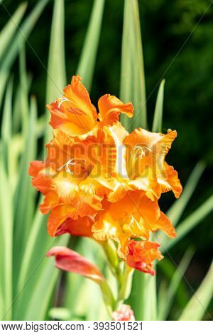 Orange Gladiolus Flower Close-up Under The Summer Sun