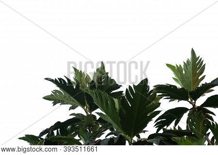 Breadfruit Plant Leaves With Branches On White Isolated Background For Green Foliage Backdrop