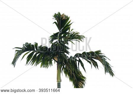 Tropical Betel Tree With Leaves And Trunk On White Isolated Background For Green Foliage Backdrop