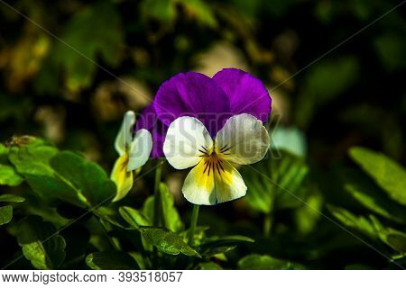 Close Up Of The Viola Tricolor Or Pansy Flower In The Hills Around Lusiana, Vicenza, Italy