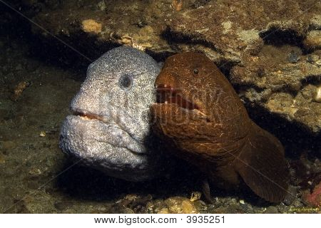 A mated pair of wolf eels hiding in their den poster