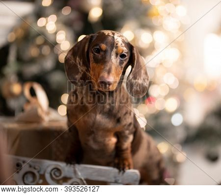 Puppy dachshund; New Year's puppy; Christmas dog in beautiful light effects  blurred background