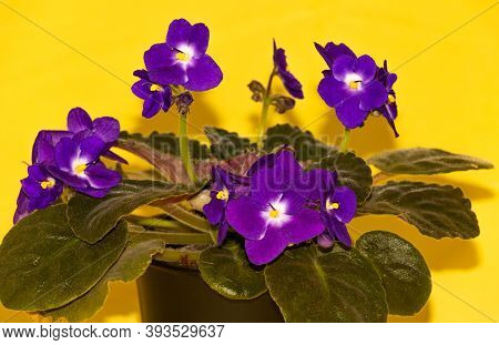 African Violet With Beautiful Purple Flowers. How To Grow African Violets Concept. Yellow Background