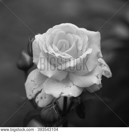 Art Photo Rose Petals Isolated On The Natural Background. Closeup. For Design, Texture, Background.