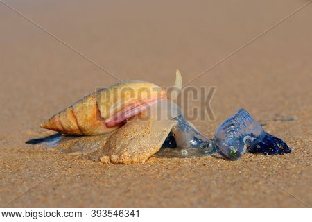 Plough snail (Bulliua digitalis), a species of sea snail, predating on a blue bottle, South Africa