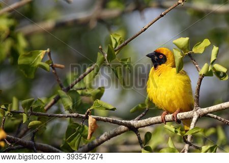 The Southern Masked Weaver Or African Masked Weaver (ploceus Velatus) Sitting On The Bush