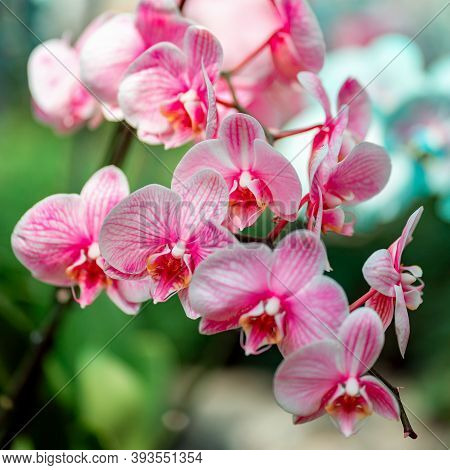 Tropical Plants In The Arboretum. Leaves And Wild White-pink Orchids, Flowers Close-up. Concept Of E
