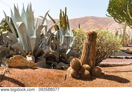 Antigua, Fuerteventura, Spain : 2020 October 4 : Cactus In The Garden Of The Museo Del Queso Majorer