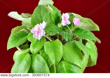 Violet Blooms, Green Leaves, Home Plant, Potted Red Background
