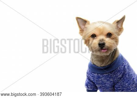 Close-up Portrait Of Older Yorkshire Terrier In Clothes On White Background. Real Emotions: Devotion