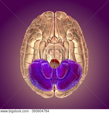 Human Brain With Highlighted Cerebellum, Bottom View, 3d Illustration. It Plays An Important Role In