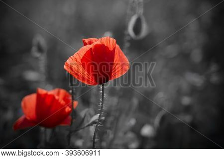 Red Poppies Flowers Field For Remembrance Day.