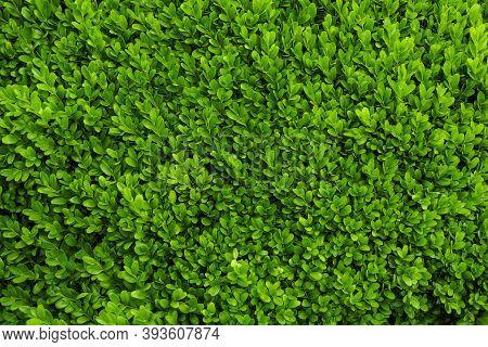 Dark Green Solid Background Evergreen Boxwood Close-up Photo