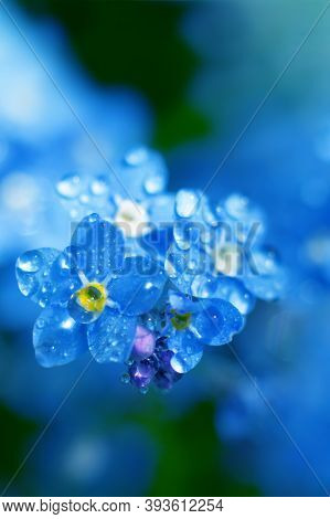 Vertical Beautiful Backdrop With Forget-me-not Flowers Close Up With Tiny Shining Dew Droplets On Fr
