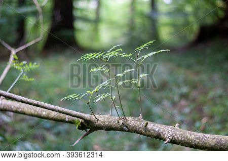 Close-up Of Fresh Twigs With Leaves At A Branch Of A Fallen Ash Tree