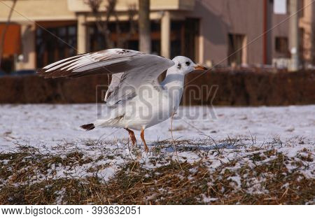 Small Seagull With Opened Wings On The Ground. Wild Bird In Cold Winter On Cold Freezing Ground Cove