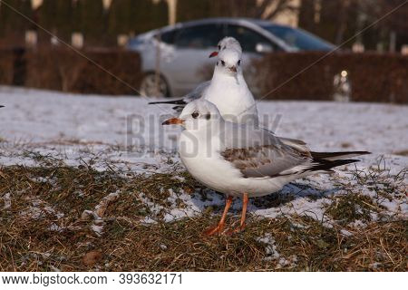 Black-headed Gulls In Winter On River Bank On Snow. Wild Bird In Cold Winter On Cold Freezing Ground