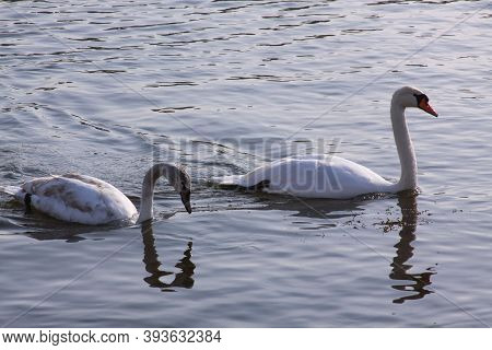 Long Necked White Swans Floating On River Surface. Wild Birds In Cold Winter On Cold Freezing Water