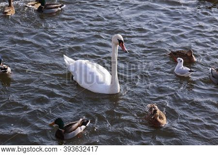 White Swan Surrounded By Ducks On River Surface. Wild Birds In Cold Winter On Cold Freezing Water Su