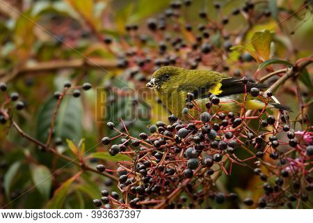 Yellow-bellied Siskin (spinus Xanthogastrus) Is A Small Passerine Bird In The Finch Family Fringilli
