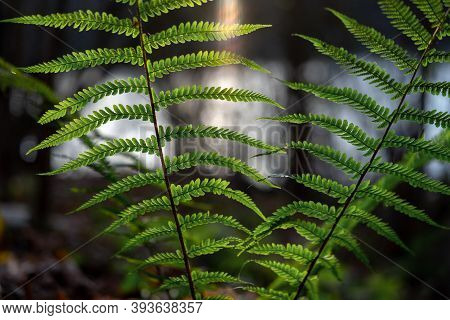 Wonderful Patterned Bright Green Fern (dryopteris Filix-mas) Leaves With Spores In Front Of The Even