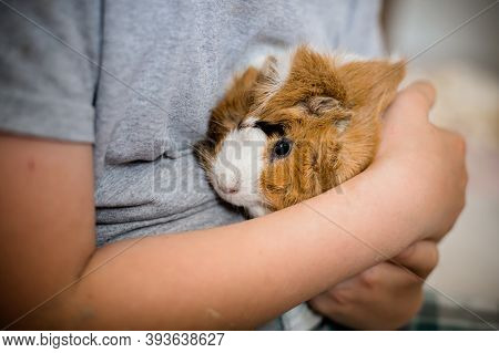 Guinea Pig In Hands Of Child. Pets Muzzle Close-up. Child Holds Tame Domestic Rodent In Arms. Soft F