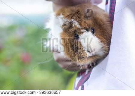 Guinea Pig In Hands Of Child. Pets Muzzle Close-up. Child Holds Tame Domestic Rodent In Arms.