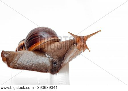 Snail Close-up On A White Background, The Use Of Achatina Snails In Cosmetology, Snail Slime For Ski