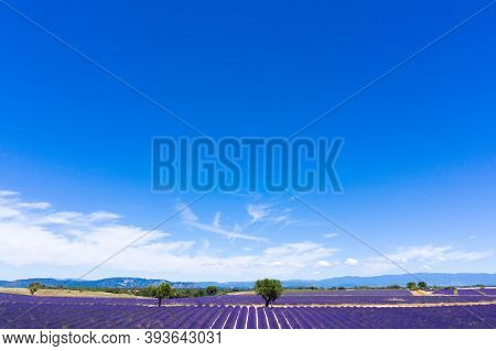 Aerial View Of Lavender Fields In Valensole In South Of France