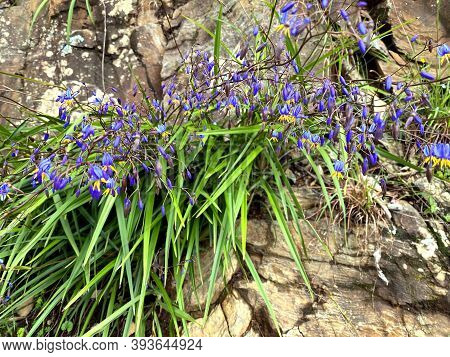 Blue Flax Lillies In Australia Growing On Rocks