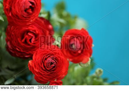 Ranunculus Flower.buttercup Flowers.floral Background.red Flowers On A Bright Blue Background. Red R