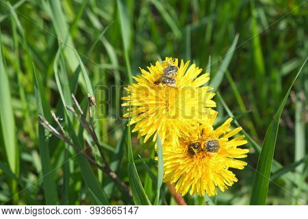 Beetles Crawl Over A Dandelion Flower. Flowers And Insects. Tropinota Hirta. Close-up Of Tropinota H
