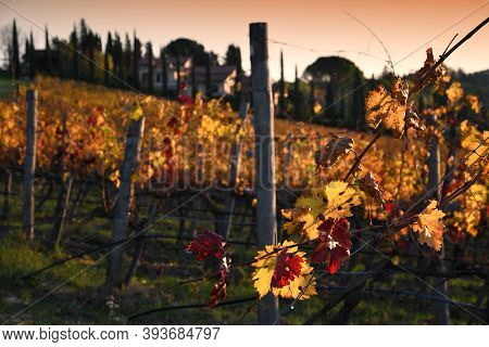 The Yellow And Red Leaves Of Wonderful Vineyards Illuminated By The Last Lights Of The Sunset In Tus