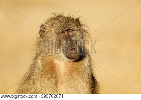 Portrait of a young chacma baboon (Papio ursinus), Kruger National Park, South Africa