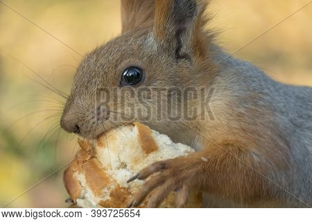 A Squirrel With A Fluffy Tail Eat Bread. Small Rodent Eats Close-up. Zoology, Mammals, Nature. The S