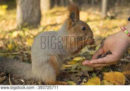 Holding Out A Hand With Seeds To A Squirrel. A Squirrel With A Fluffy Tail Nibbles Seeds. Squirrel E