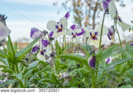 Fresh Spring Landscape. Pansies In The Autumn Garden. The Flowers Fade. Pansy Flowers. Tricolor Viol