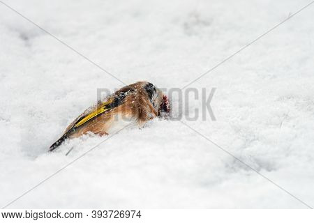 A Dead Bird In The Snow. The Harsh Cold Of Winter.